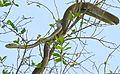 Black Mamba (Dendroaspis polylepis) juvenile (under 2m...) on top of a tree ... (30397328144).jpg