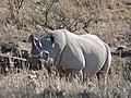 Black Rhino (Diceros bicornis bicornis) (31761500453).jpg