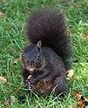 Black Squirrel (8030196111).jpg