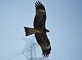 Black kite (Milvus migrans) D35 6638 01.jpg