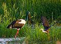 Black necked stork (Jabiru) - Fogg Dam - Northern Territory - Australia & Juvenile Pied Heron in flight.jpg