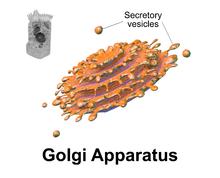 Golgi apparatus wikipedia 3d rendering of golgi apparatus diagram ccuart Choice Image