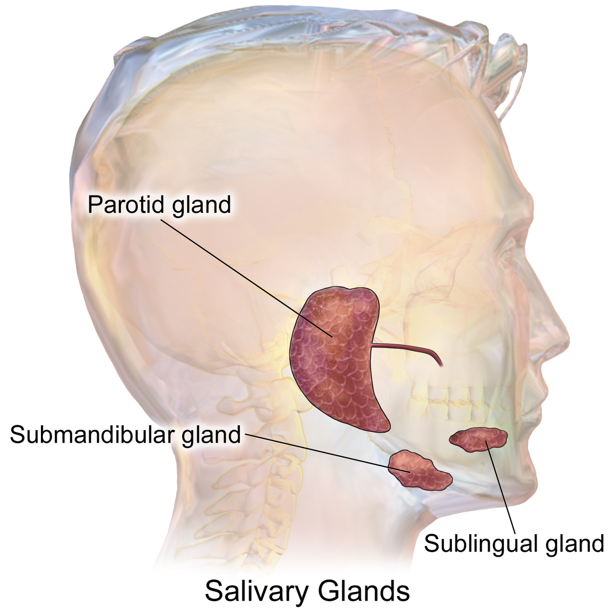 parotid gland - wikipedia, Skeleton