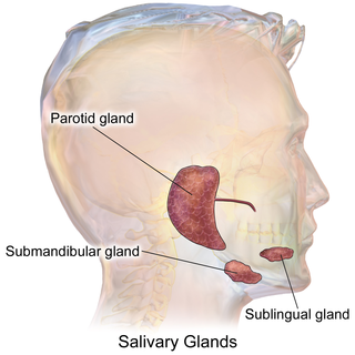 Salivary gland exocrine gland that produces saliva also it reduces bleeding in mouth