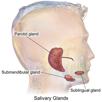 Salivary gland - Human salivary glands.