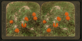 Blossoms and juicy fruit on one tree - in an orange grove, near Pasadena, Cal, by Underwood & Underwood.png