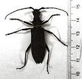 Blosyropus spinosus2.jpg