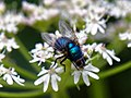 Blue-arsed fly Protophormia terraenovae at Woods Mill, Sussex Wildlife Trust, England.jpg