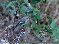 Blue-capped Redstart (Phoenicurus caeruleocephala) (45839139694).jpg