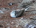 Blue-footed Booby (4884595695).jpg