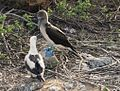 Blue-footed Booby (Sula nebouxii), Galápagos Islands, Ecuador (5713409310).jpg