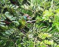 Blue throated Barbet (Immature) I IMG 0727.jpg
