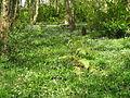 Bluebell Woods - geograph.org.uk - 46778.jpg