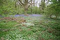 Bluebells and Wood Anemones - geograph.org.uk - 165102.jpg