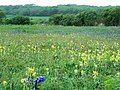 Bluebells and cowslips - geograph.org.uk - 432864.jpg