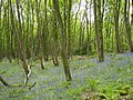 Bluebells at The Nag, Crich - geograph.org.uk - 786984.jpg