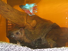 Bogwood Betta.jpg