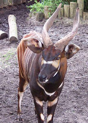 Bongo (antelope) - An eastern bongo's horns
