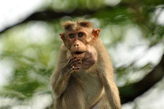 Cheek pouch - Cheek pouch stuffed with fruits in Bonnet macaque