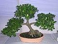 Bonsai of Chaina Bot 05.jpg