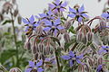 Borago officinalis-IMG 4348.jpg
