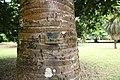 Borassius aethiopum 12.jpg