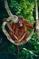 Bornean Orangutan (Pongo pygmaeus) (14582588301).jpg