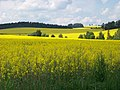 Borotín, řepkové pole.jpg