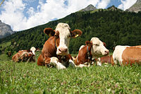 Simmental cattle resting on a Swiss pasture