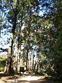 Botanic gardens trees canberra.JPG
