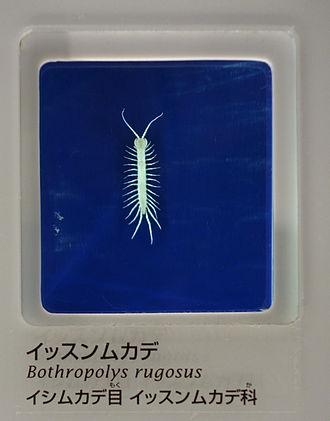 Lithobiidae - Bothropolys rugosus