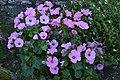 Bouquet de roses violettes (30356576582).jpg