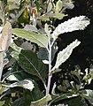 Brachylaena discolor tree - South Africa 2.jpg