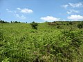 Bracken infestation - geograph.org.uk - 829074.jpg