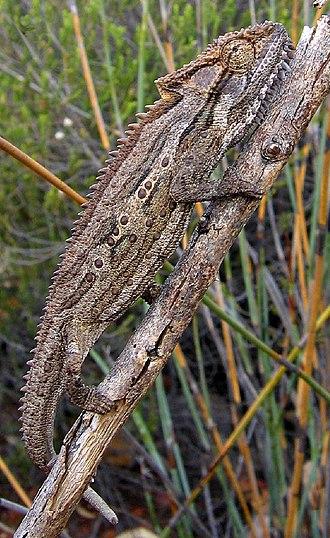 Bradypodion - Robertson dwarf chameleon (Bradypodion gutturale) at Anysberg Nature Reserve