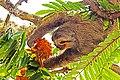 Bradypus tridactylus -Parque del Este, Caracas, Venezuela-8 (2).jpg