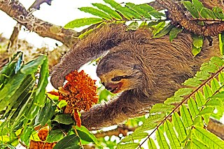 Pale-throated sloth A species of mammals related to anteaters and armadillos