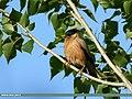 Brahminy Starling (Sturnia pagodarum) (36289823286).jpg