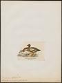Branta inornata - 1820-1863 - Print - Iconographia Zoologica - Special Collections University of Amsterdam - UBA01 IZ17600201.tif