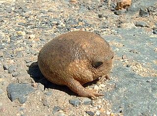 Cape rain frog Species of amphibian