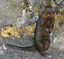 Bristol.zoo.dwarf.mongoose.arp.jpg