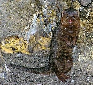 Helogale - Image: Bristol.zoo.dwarf.mo ngoose.arp