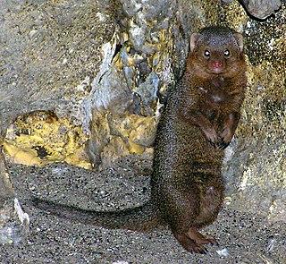 <i>Helogale</i> genus of mammals