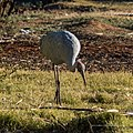 Brolga at Boulia Wildlife Haven Herbert St Boulia Queensland P1030893.jpg