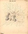 Brombær - Rubus Laciniata (9244514487).jpg