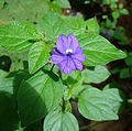 Browallia americana, the Amethyst Flower (11413416736).jpg