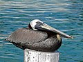 Brown Pelican (Pelecanus occidentalis) (6776019741).jpg