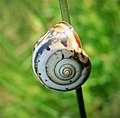 Brown lipped Snail. (44139269554).jpg