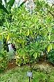 Bruguiera gymnorhiza - Shinjuku Gyo-en Greenhouse - Tokyo, Japan - DSC05830.jpg