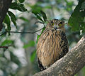 Bubo flavipes -Jim Corbett National Park, Uttarakhand, India-8.jpg
